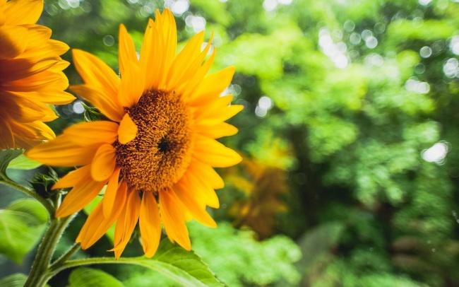 哲理句子,向日葵唯美意境图片